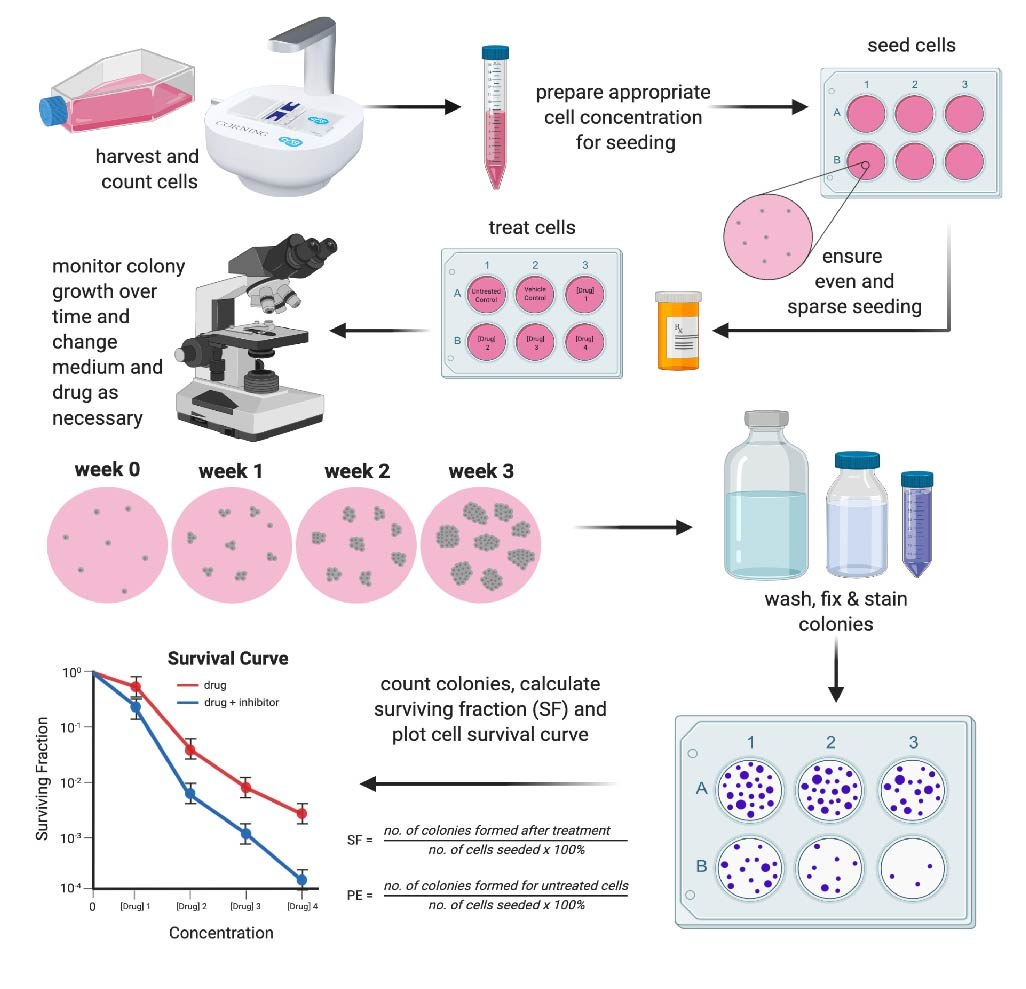 A summary of a traditional clonogenic protocol where cells are seeded, treated and then clonogenicity assessed.