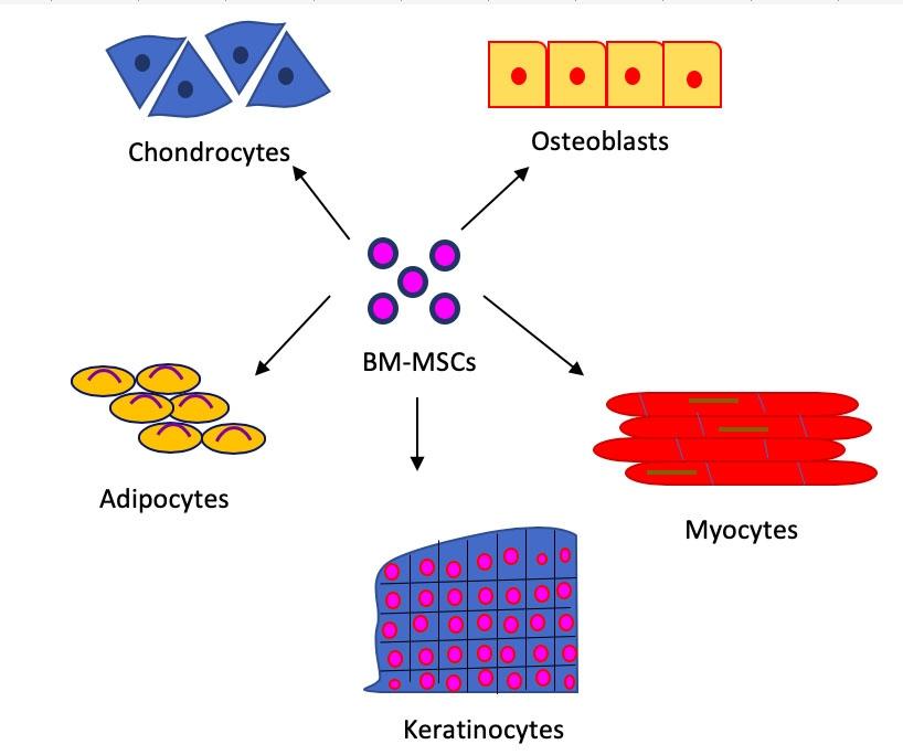 Multi-lineage potential of Bone Marrow derived MSCs