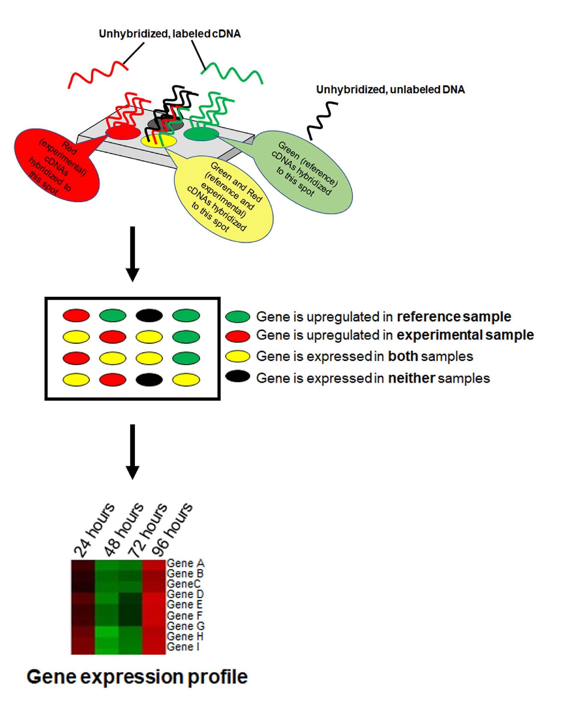 schematic gene expression profile
