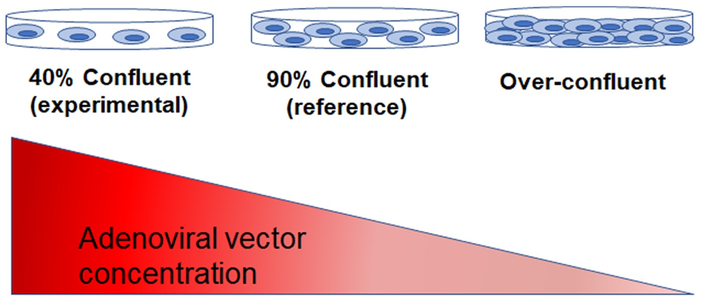 production of adenoviral vectors is influenced by the culture confluency