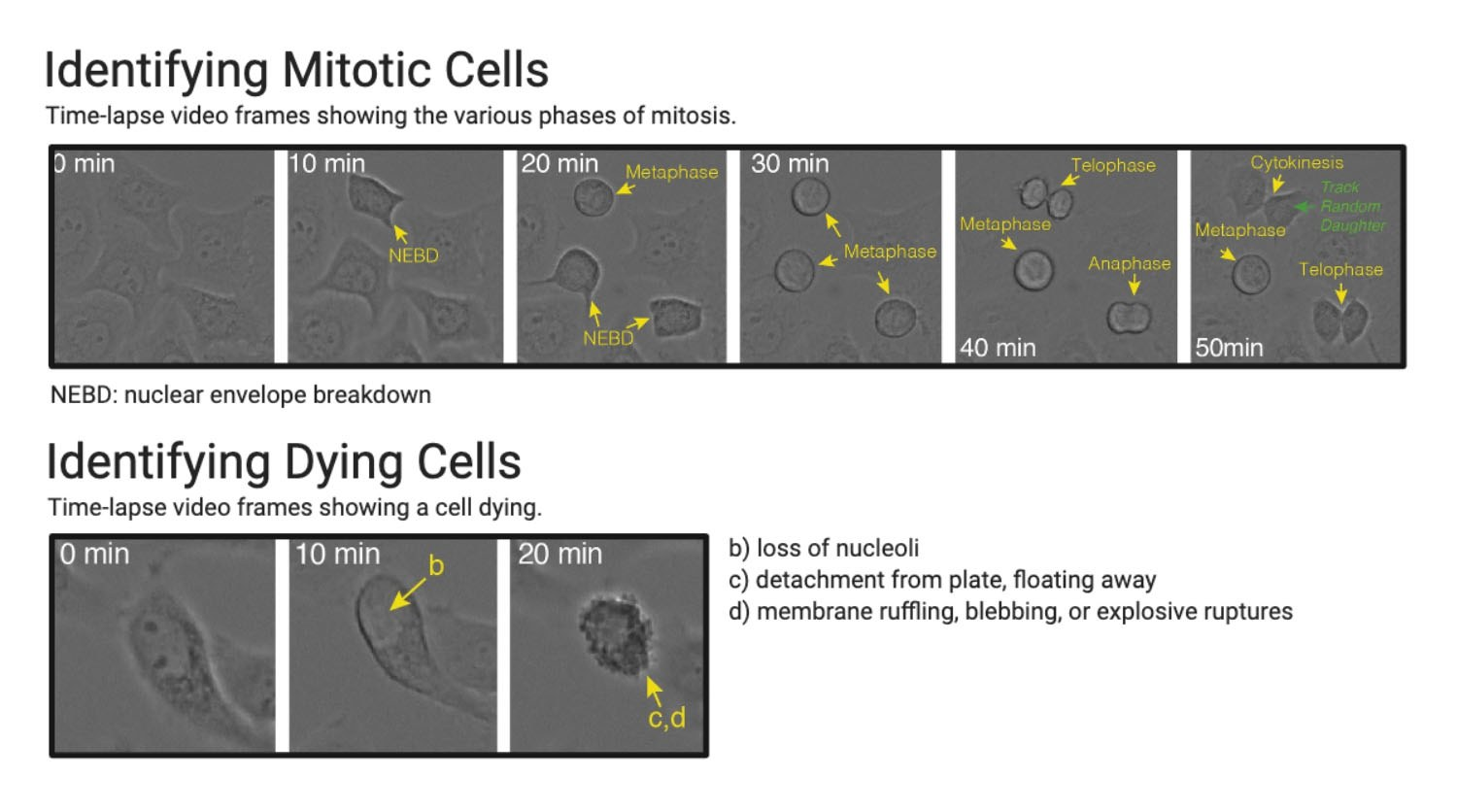 visual analysis of the cell-cycle using label-free microscopy