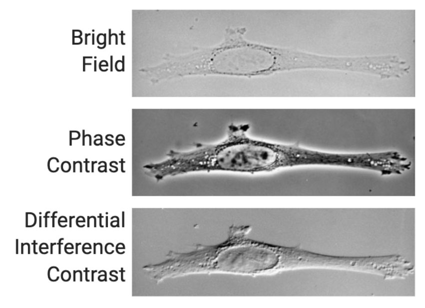 phase contrast and differential interference contract techniques provide improved image quality compared to standard bright-field imaging