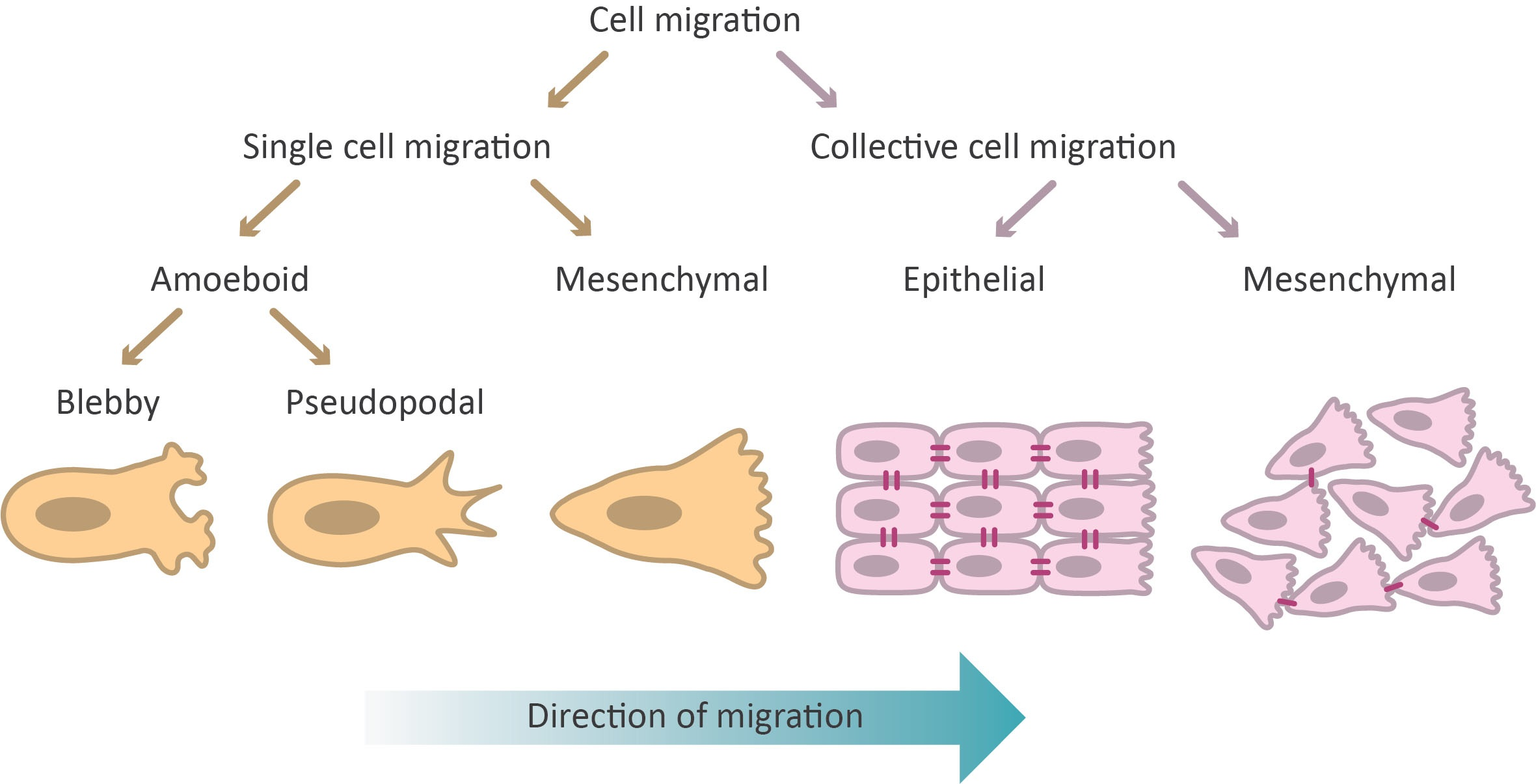 modes of cell migrations, based on cell morphology. single cell migration and collective cell migration
