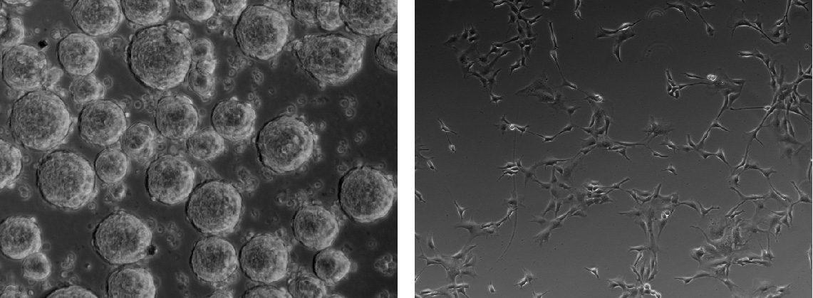 Human NSCs in neurospheres (left) and as adherent cultures (right), 10x